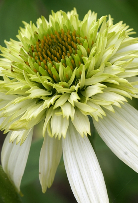 Echinacea_Coconut_Lime-PICT6193.jpg