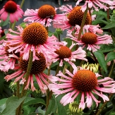Echinacea 'Quills and Drills'