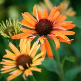 Echinacea_Hot-Summer_DSC00087.jpg