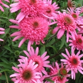 Echinacea 'Southern Belle'