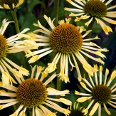 Echinacea 'Yellow Spider'