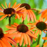Echinacea 'Orange Luxury'